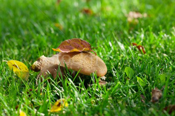 ősz gombák fű legelő kilátás copy space Stock fotó © karandaev