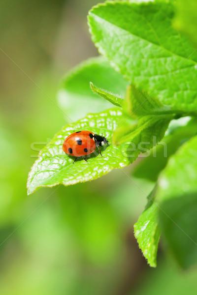 Uğur böceği yeşil yaprak bahçe görmek bo arka plan Stok fotoğraf © karandaev
