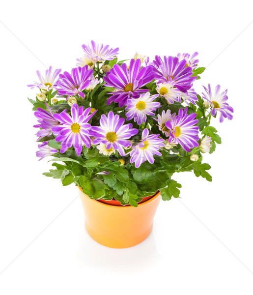 Potted flower Stock photo © karandaev