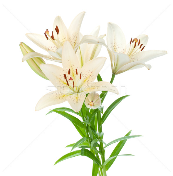 Сток-фото: белый · Лилия · букет · изолированный · цветок · весны
