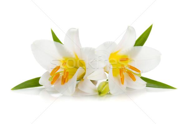 Сток-фото: два · белый · Лилия · бутон · изолированный · цветок