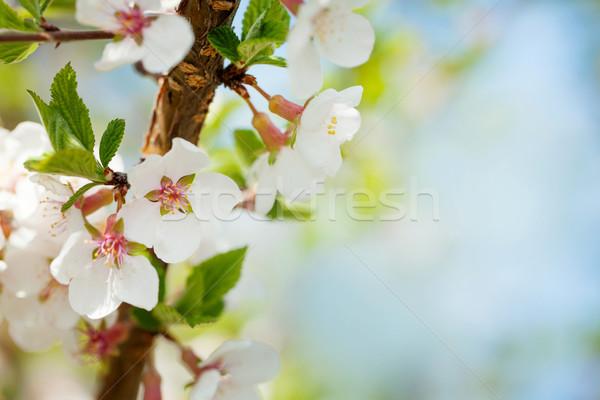 Sakura cerisiers en fleurs ensoleillée printemps espace de copie ciel Photo stock © karandaev