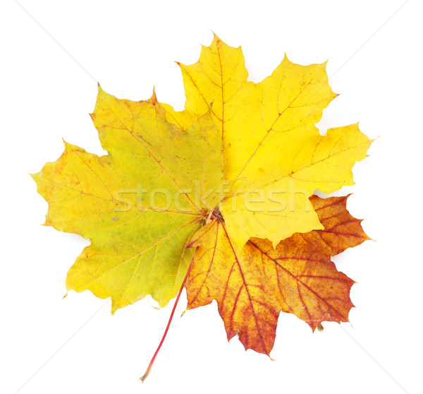 Stock photo: Colorful autumn maple leaves