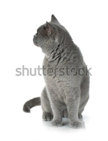 Szürke macska néz hátrafelé izolált fehér Stock fotó © karandaev
