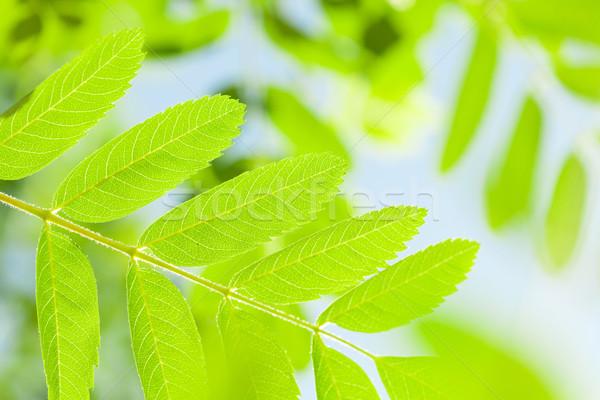 Green rowan leaves Stock photo © karandaev