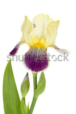 Foto stock: Flor · primer · plano · aislado · blanco · naturaleza · jardín