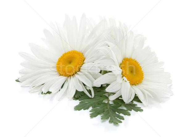 Deux camomille fleurs laisse isolé blanche Photo stock © karandaev