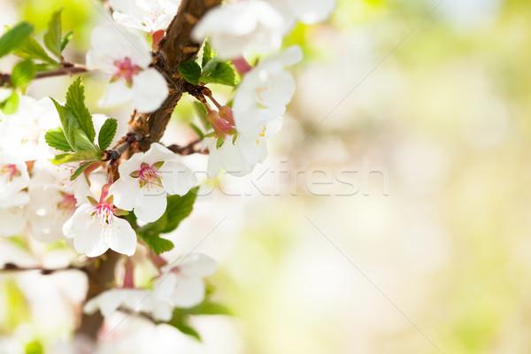 Sakura kersenbloesem zonnige voorjaar exemplaar ruimte bloem Stockfoto © karandaev