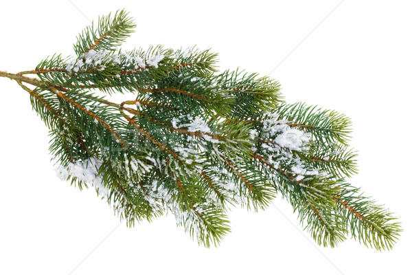 Fir tree branch covered with snow Stock photo © karandaev
