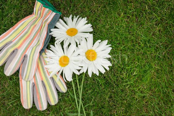 саду перчатки ромашка цветы зеленая трава копия пространства Сток-фото © karandaev