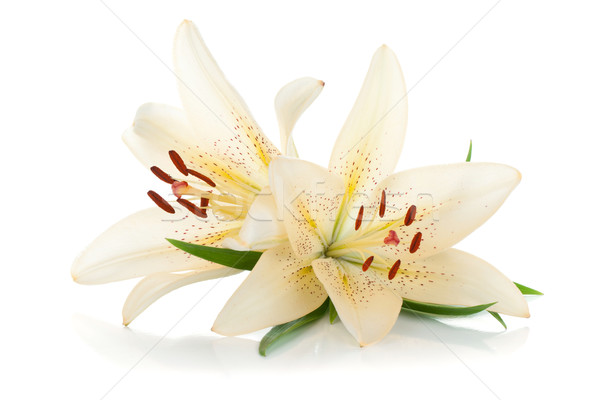 Two white lily Stock photo © karandaev
