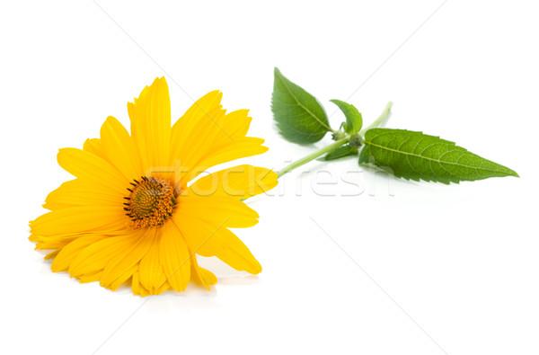Gelbe Blume isoliert weiß Blume Frühling Natur Stock foto © karandaev