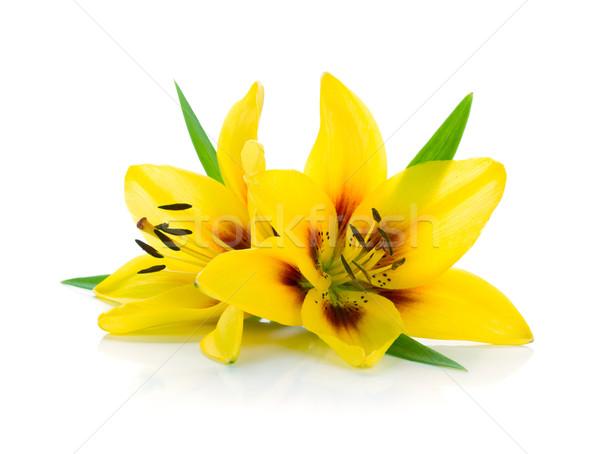 Сток-фото: два · желтый · Лилия · изолированный · белый · цветок