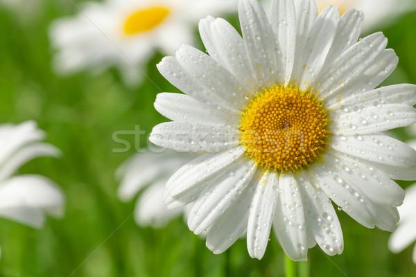 Manzanilla flor campo de hierba soleado verano día Foto stock © karandaev