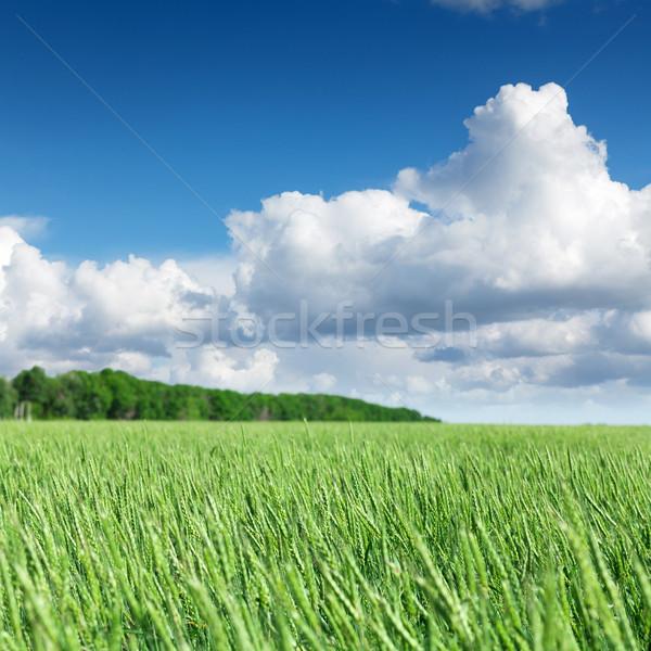 Verde campo de trigo cielo azul soleado verano día Foto stock © karandaev