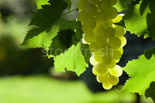 Videira monte branco uvas jardim comida Foto stock © karandaev