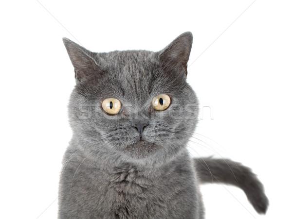 Primo piano ritratto grigio cat isolato bianco Foto d'archivio © karandaev