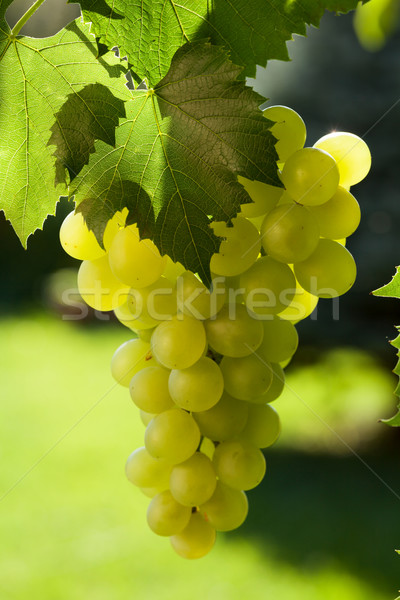 Vine and bunch of grapes Stock photo © karandaev