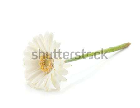 Lying white gerbera flower Stock photo © karandaev