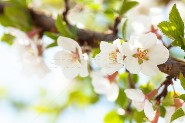 Sakura cseresznyevirág napos tavasz copy space égbolt Stock fotó © karandaev