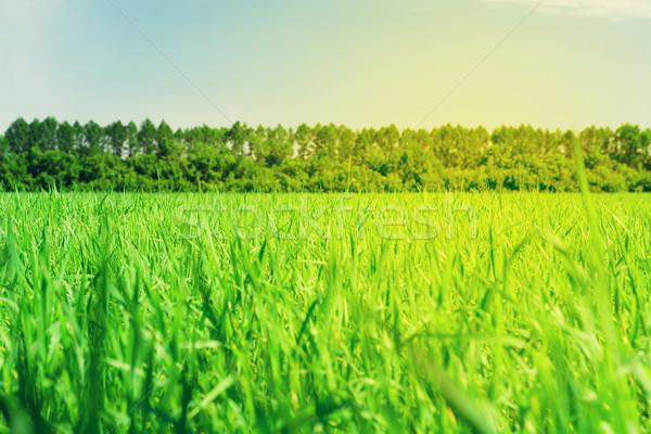 зеленая трава области Blue Sky лес линия горизонте Сток-фото © karandaev