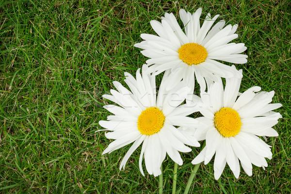Tres manzanilla flores hierba verde espacio de la copia primavera Foto stock © karandaev