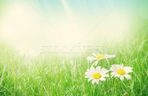 Manzanilla flores campo de hierba soleado verano día Foto stock © karandaev