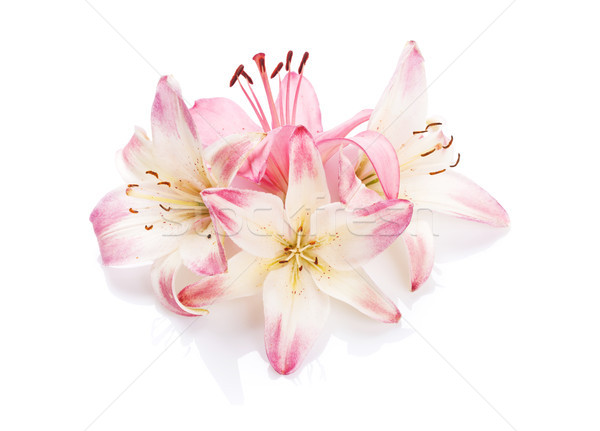 Pembe zambak çiçekler yalıtılmış çiçek güzellik Stok fotoğraf © karandaev