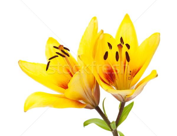 Yellow lily flower Stock photo © karandaev