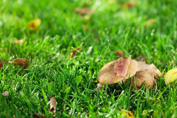 Sonbahar mantar çim çayır görmek bo Stok fotoğraf © karandaev