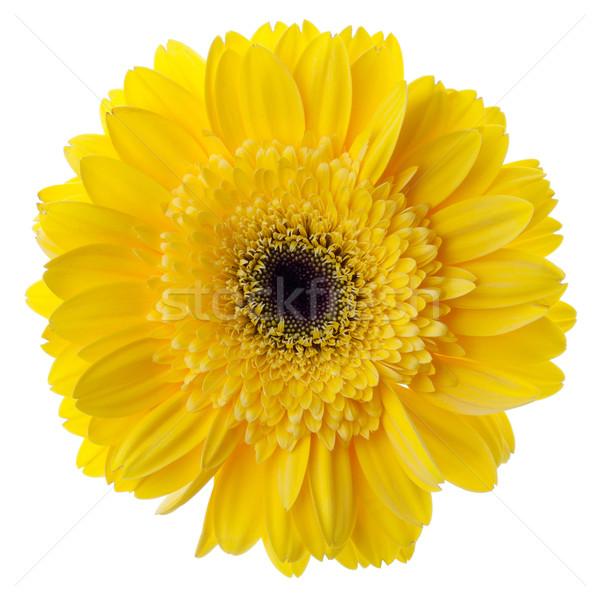 Сток-фото: желтый · цветок · изолированный · белый · весны