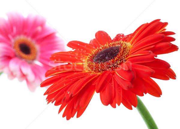 Stock foto: Rot · rosa · Blumen · wenig · isoliert