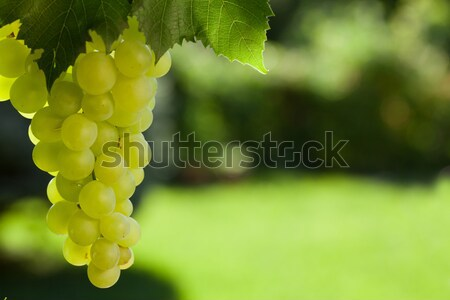 Vine and bunch of white grapes Stock photo © karandaev