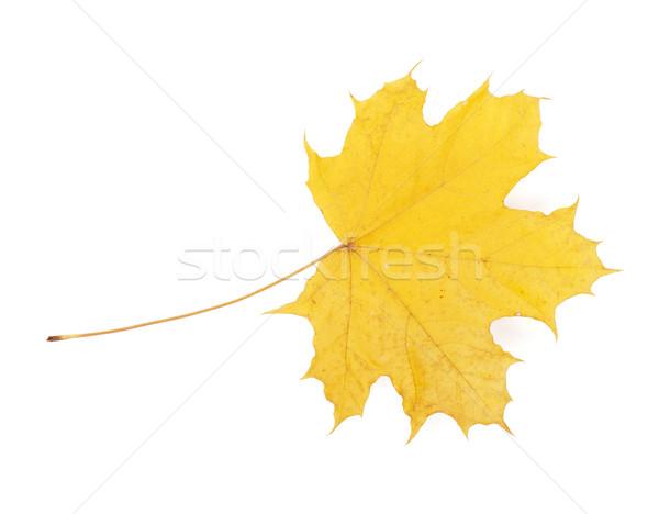 Autunno giallo foglia d'acero isolato bianco natura Foto d'archivio © karandaev