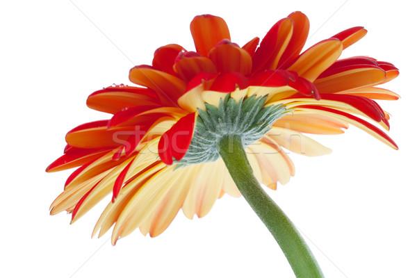 Czerwony kwiat dolny widoku odizolowany biały Zdjęcia stock © karandaev