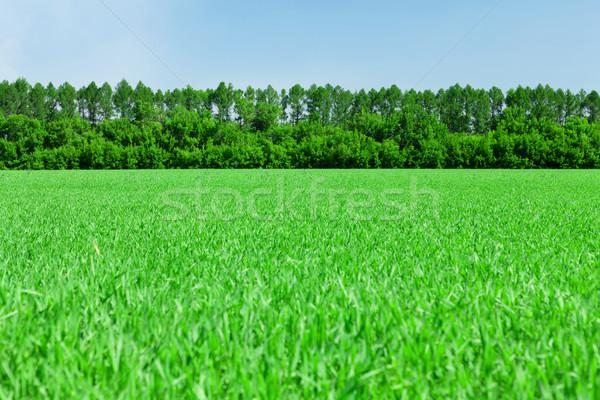 Hierba verde campo cielo azul forestales horizonte cielo Foto stock © karandaev