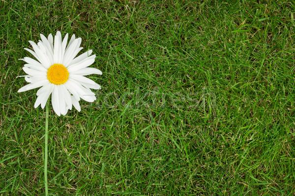 Chamomile flower Stock photo © karandaev