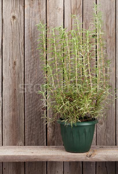 Rosemary herb in flowerpot Stock photo © karandaev
