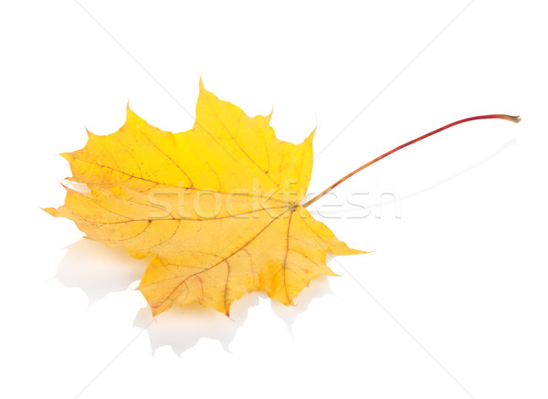 Colorato autunno foglia d'acero isolato bianco natura Foto d'archivio © karandaev