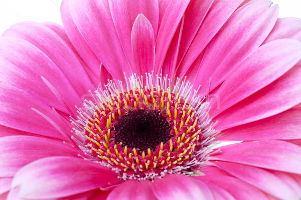 Flor rosa primer plano aislado blanco naturaleza verano Foto stock © karandaev