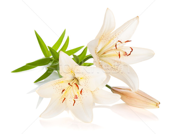 Two white lily flowers Stock photo © karandaev