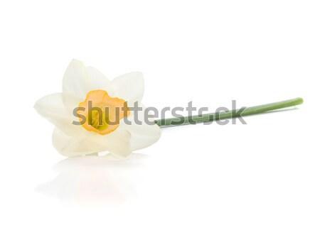 Lying white daffodil Stock photo © karandaev