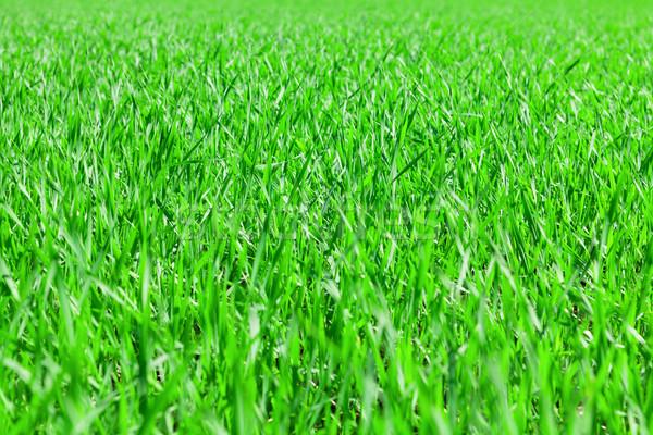 зеленая трава области луговой Солнечный лет фон Сток-фото © karandaev