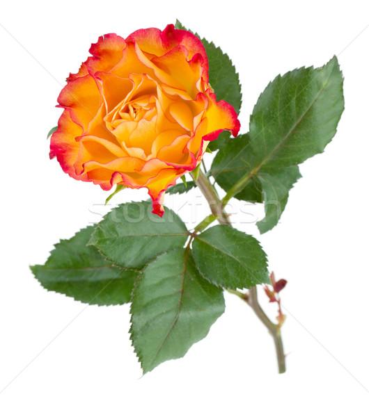 Stock fotó: Narancs · rózsa · virág · izolált · fehér · tavasz