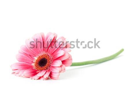 Pink gerbera flower Stock photo © karandaev