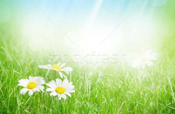 Kamille bloemen grasveld zonnige zomer dag Stockfoto © karandaev