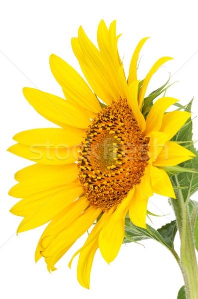 Foto d'archivio: Girasole · isolato · bianco · fiore · sole · giardino