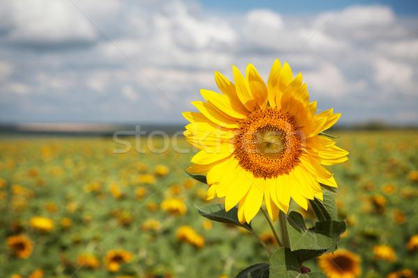 Stock photo: Sunflower field