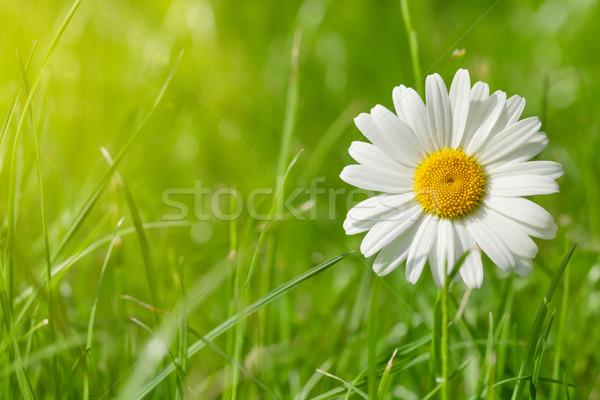 ромашка цветок травой поле Солнечный лет день Сток-фото © karandaev