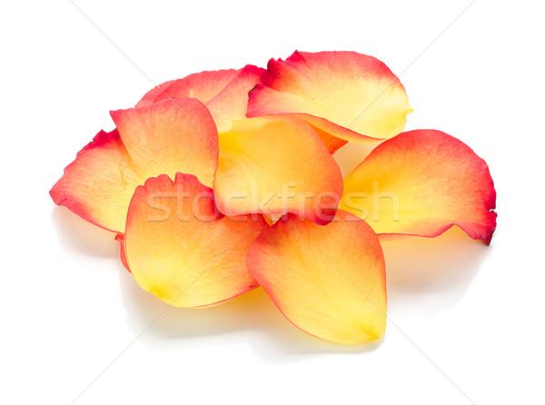 バラの花びら 孤立した 白 花 自然 赤 ストックフォト © karandaev